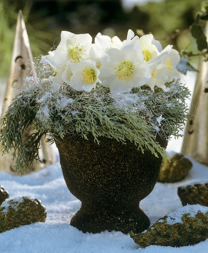 Arrangement of Christmas roses and cypress