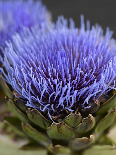 Artichoke flowers (close-up)