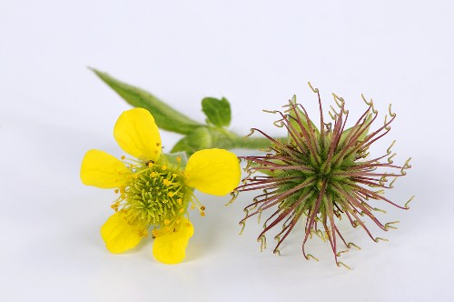 Herb bennet with flower