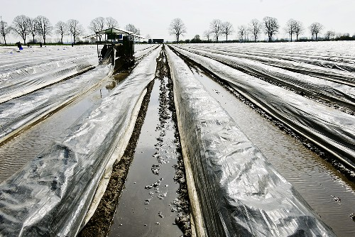 Asparagus field covered in plastic