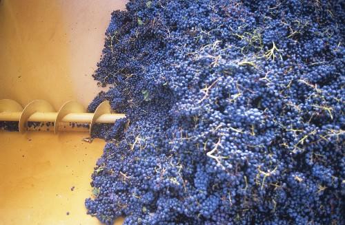 Weintrauben in Traubenmühle oder 'Schnecke', Toskana