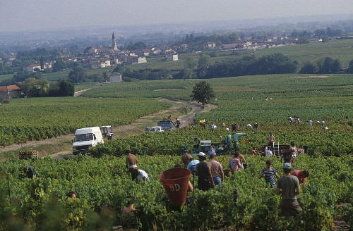 Grape picking at Moulin-a-Vent, Burgundy, France