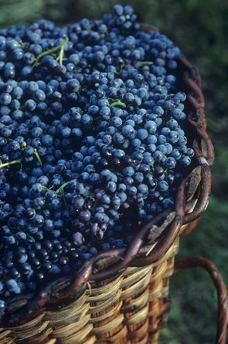Picked Chiavennasca grapes, Veltlin, Lombardy, Italy