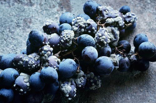 Corvina grapes with botrytis drying for Amarone