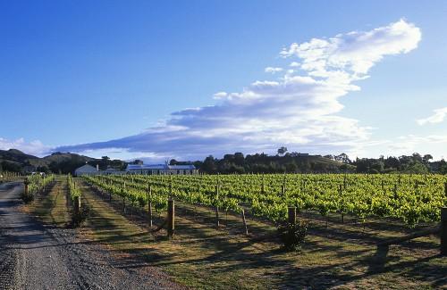 Wine-growing near Havelock North, Hawke's Bay, N. Zealand
