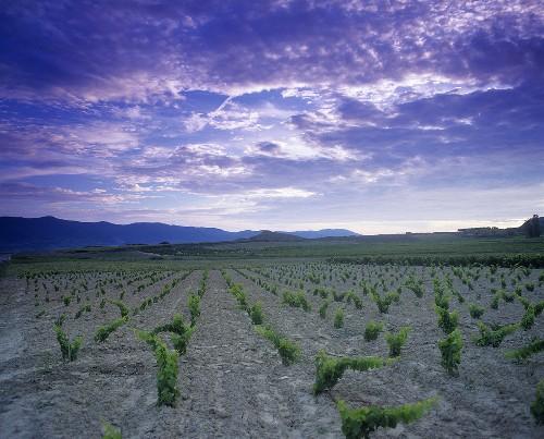 Vineyard near San Martin de Unx,  Navarra,  Spain