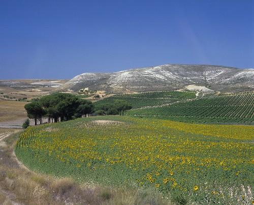 Vineyards near Pinel de Abajo, Ribera del Duero, Spain