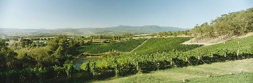 Vineyard of Coldstream Hills Estate, Yarra Valley, Australia