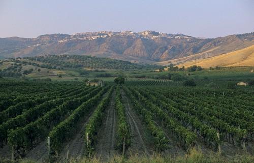 Vineyards of Librandi estate, Cirò wine region, Calabria, Italy