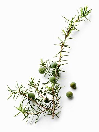 Juniper sprig with berries