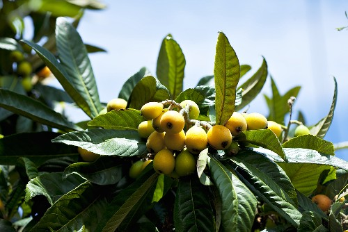 Loquats on branch