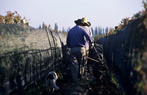 Tilling the soil between rows of vines, Mendoza, Argentina