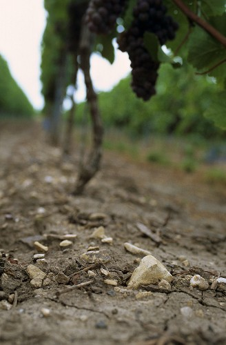 Vine rows with soil profile, limestone on loam-loess, Palatinate, Germany