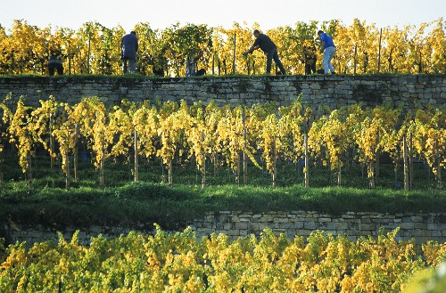 Grape picking on vineyard terraces near Bad Dürkheim, Palatinate