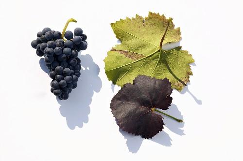 Red wine grape, variety 'Zweigelt'