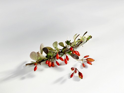 Barberries on a branch