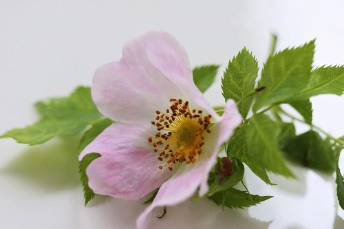 A dog rose