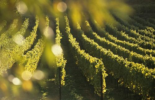 Vineyard in evening sun