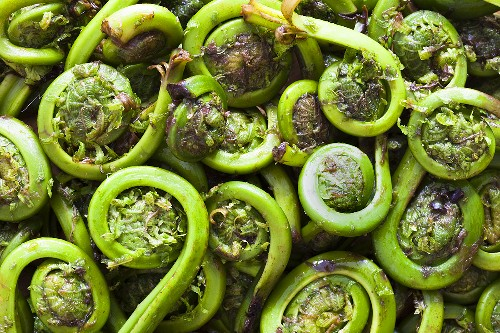 Fiddlehead - young fern leaves, a Canadian spring vegetable