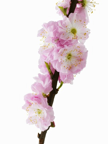 Almond blossom on a branch