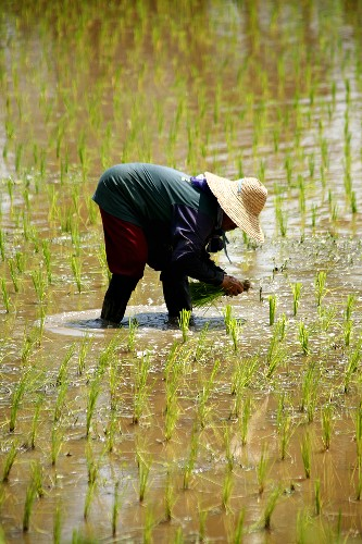 Worker planting rice plants in the field