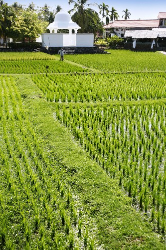 Rice plants growing in the field in Malaysia