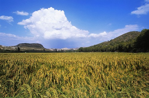 Vialone rice field