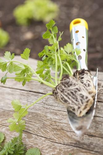 Celeriac seedling on a trowel