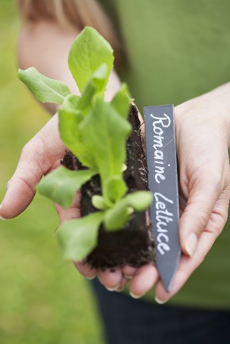 A woman holding a cos lettuce seedling