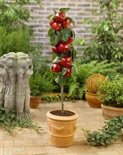 Miniature apple tree in terracotta pot