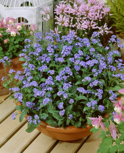 Forget-me-nots in planter