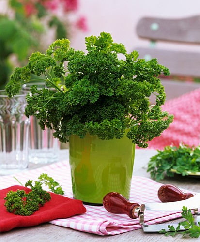 Curly parsley in flowerpot