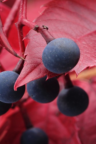 Berries of Virginia creeper