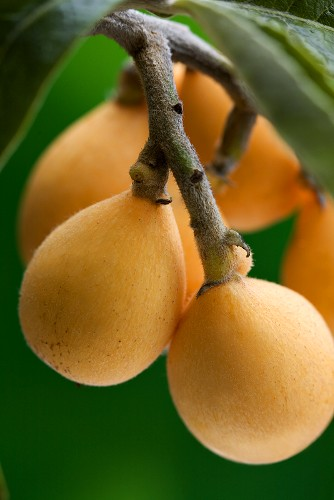 Loquats on a branch