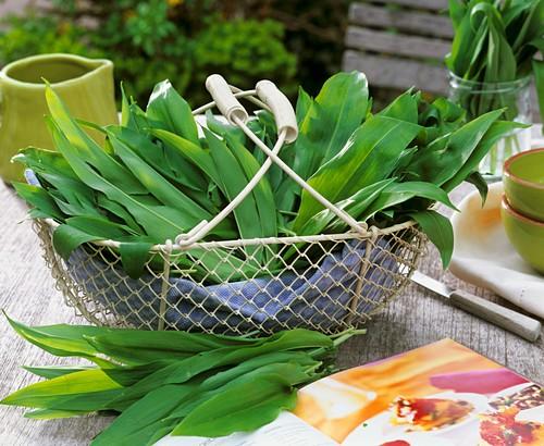 Freshly picked ramsons leaves (wild garlic) in a wire basket