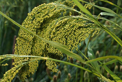 Ears of rice (detail)