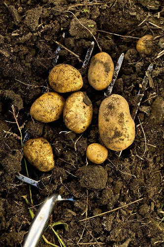 Organic potatoes in the soil with fork