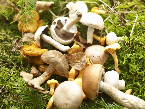 Boring brown bolete mushrooms, field mushrooms, chanterelle mushrooms and birch bolete mushrooms on moss
