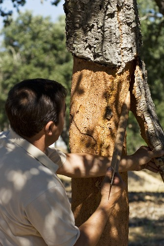 Harvesting cork oak
