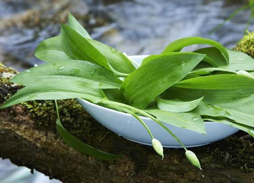 Ramsons (wild garlic) in dish by stream