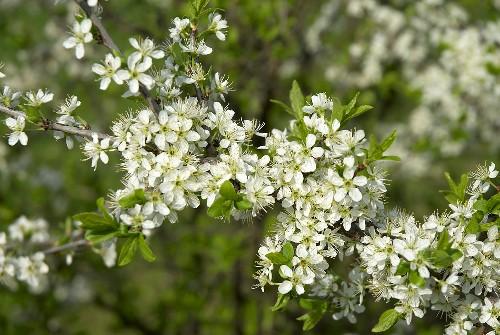 Blackthorn (Sloe) in blossom