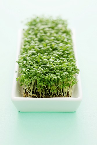 Cress in a dish