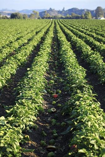 Pepper plants in the field