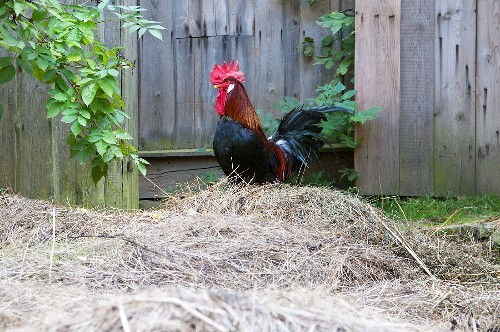 A proud cockerel on a pile of hay