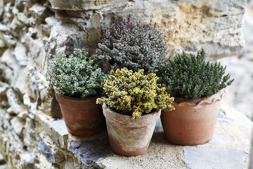Various types of thyme in pots on a stone wall