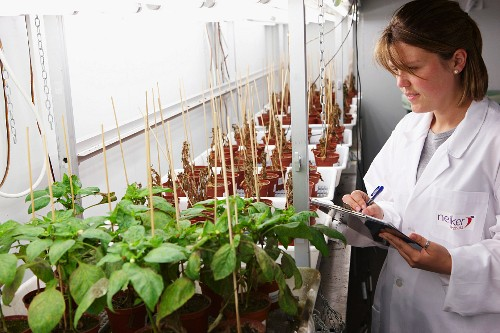 Pepper plants being checked
