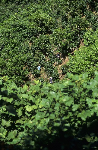 Coffee Beans being picked on Plantation