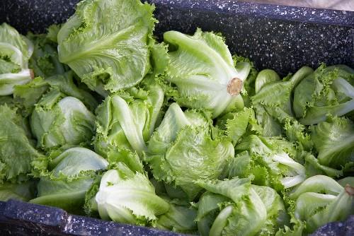 Heads of Fresh Lettuce in a Bin