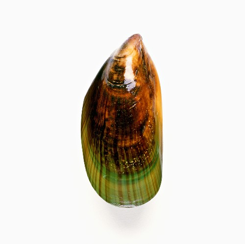 New Zealand Green Mussel on White
