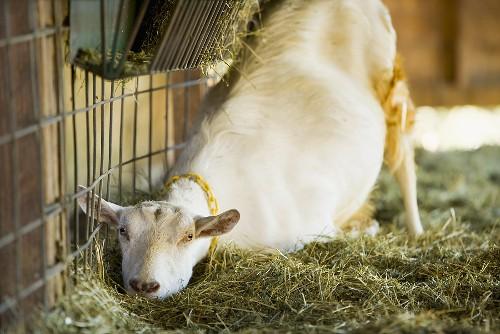 Ziege im Stall auf dem Bauernhof